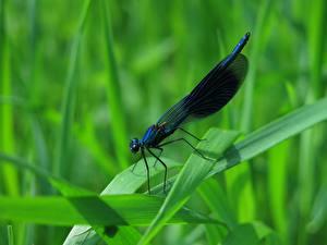 Bilder Nahaufnahme Libellen Insekten Gras Calopteryx virgo