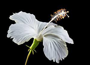 Hintergrundbilder Hautnah Hibiskus Schwarzer Hintergrund Weiß Blumen