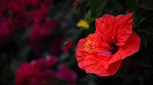 Bilder Hautnah Eibisch Rot Blüte