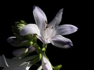 Fotos Nahaufnahme Lilien Schwarzer Hintergrund Weiß Blumen