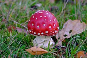 Pictures Closeup Mushrooms nature Amanita Grass Red Nature