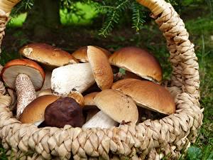 Hintergrundbilder Hautnah Pilze Natur Viel Gemeiner Steinpilz Weidenkorb Natur