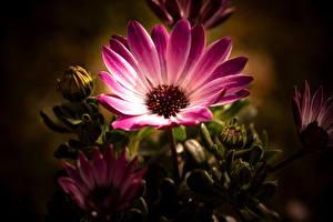 Bilder Hautnah Blütenknospe Rosa Farbe Osteospermum Blüte