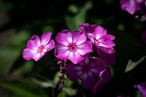 Fotos Hautnah Phlox Unscharfer Hintergrund Rosa Farbe Blüte