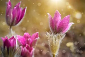 Hintergrundbilder Hautnah Kuhschellen Unscharfer Hintergrund Rosa Farbe Blüte
