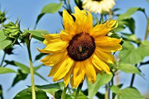 Fotos Hautnah Sonnenblumen