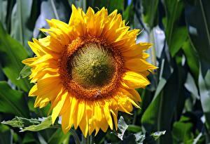 Fotos Großansicht Sonnenblumen