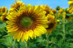 Fotos Hautnah Sonnenblumen Unscharfer Hintergrund Blüte