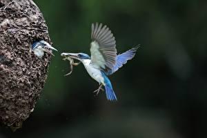 Fonds d'écran Martin-pêcheur d'Europe Grenouilles Oiseaux Vol Arrière-plan flou Aile Nid un animal