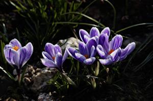 Hintergrundbilder Krokusse Hautnah Violett Blüte