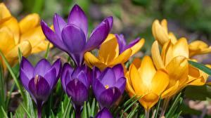 Fotos Krokusse Hautnah Gelb Violett Blüte