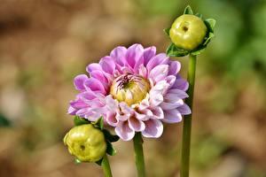Fotos Dahlien Bokeh Blütenknospe Rosa Farbe