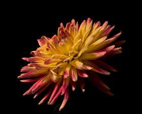 Photo Dahlias Closeup Black background flower