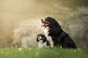Hintergrundbilder Hund Berner Sennenhund 2 Welpen Gras