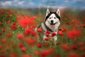 Hintergrundbilder Hund Mohnblumen Grünland ein Tier
