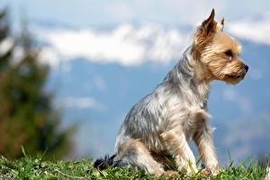 Bilder Hund Yorkshire Terrier Gras Sitzt Unscharfer Hintergrund