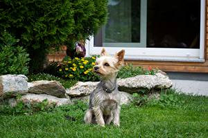 Image Dog Yorkshire terrier Sit Grass animal