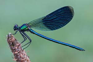 Hintergrundbilder Libellen Hautnah Calopteryx virgo Tiere