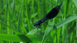Hintergrundbilder Libellen Hautnah Gras Calopteryx virgo