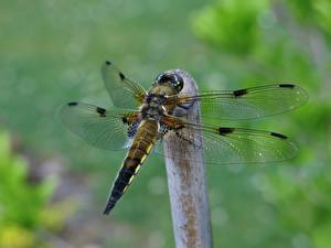 Image Dragonflies Insects Closeup Bokeh Wings animal