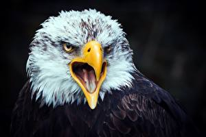 Images Eagles Birds Beak Head Tongue animal