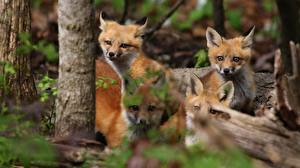 Picture Foxes Cubs Four 4 Animals