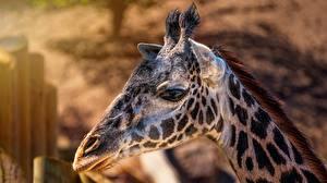Bilder Giraffe Großansicht Kopf Tiere