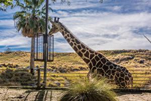 Bilder Giraffe Palmen ein Tier