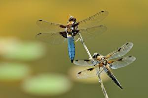 Image Insects Odonata Blurred background 2 Wings animal