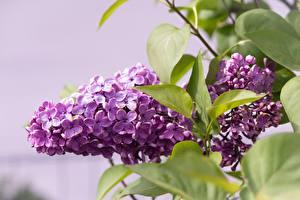 Bakgrundsbilder på skrivbordet Syringa Närbild Lila färg Lövverk blomma