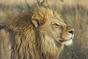 Bilder Löwe Schnauze Seitlich Kopf