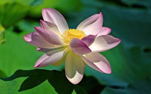 Hintergrundbilder Lotus Hautnah Rosa Farbe