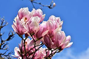 Hintergrundbilder Magnolien Nahaufnahme Rosa Farbe Blumen