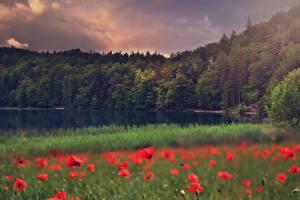 Bilder Mohnblumen Wald See Gras Natur