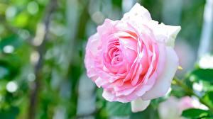 Tapety na pulpit Róża Zbliżenie Różowa kwiat