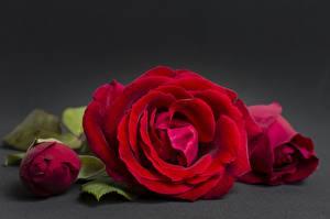 Tapety na pulpit Róże Zbliżenie Czerwony Kwiaty