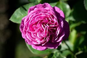 Wallpaper Rose Pink color Flowers