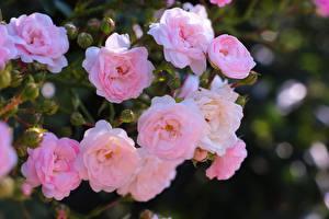 Bilder Rose Strauch Unscharfer Hintergrund Rosa Farbe Blumen
