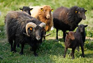 Picture Sheep Cubs Grass Horns Animals