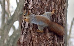 Fotos Hörnchen Rinde Baumstamm  Tiere