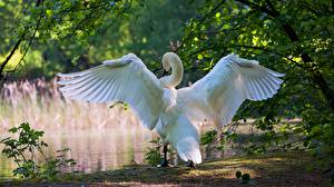 Images Swans Wings Back view animal