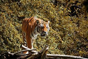 Hintergrundbilder Tiger Starren ein Tier