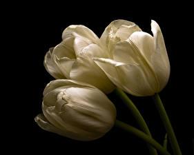 Picture Tulip Closeup Black background Three 3 White Flowers