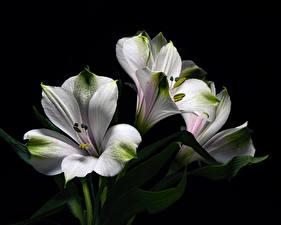 Fotos Alstroemeria Hautnah Schwarzer Hintergrund Weiß Blüte