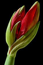 Pictures Amaryllis Closeup Black background Flower-bud Flowers