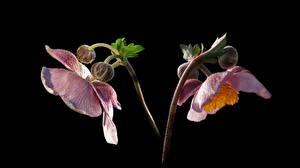 Fotos Windröschen Hautnah Schwarzer Hintergrund Blütenknospe Rosa Farbe Blüte