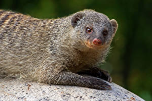 Pictures Staring Banded mongoose animal