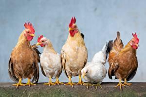 Bilder Vogel Haushuhn Hahn ein Tier