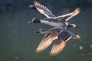 Fotos Vögel Ente Flug Zwei Tiere