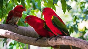 Picture Bird Parrot Branches Red lorikeet